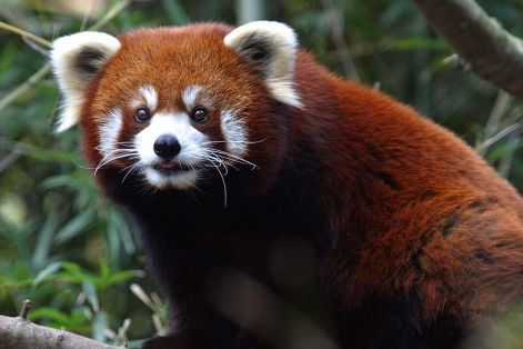 red_panda_-_nashville_zoo.jpg